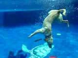Un chien Labrador fait de la plongée