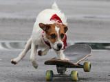 Un chien Parson Russell Terrier aux X-Games...