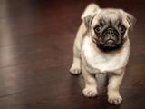 Usa - Des dangers du voyage en avion pour les chiens à truffe écrasée.
