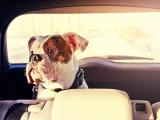 Chien stressé : la peur du chien en voiture