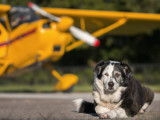«Dogs Might Fly» veut transformer un chien en pilote d'avion