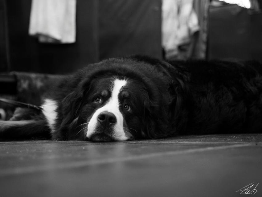 Le chien face à l'absence du maître