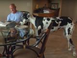Voici Lizzy, le plus grand chien du monde