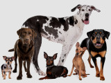Les classifications des races de chiens par morphologie