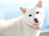 Les 20 plus belles races de chiens blancs