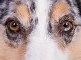 Comment voit le chien ?