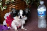Boo Boo est le chien le plus petit du monde