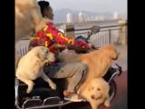 Aujourd'hui, votre chauffeur deux-roues sera... un chien !