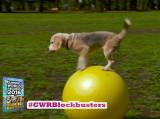 Au Japon, un chien établit un record de vitesse sur un ballon de yoga