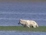 Usa - Le loup gris des Rocheuses américaines perd son statut d'espèce menacée