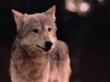 Usa -  Des loups gris se reposent dans la neige