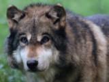 Le loup des Vosges démasqué