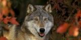 Faut-il abattre les loups pour protéger les troupeaux ?