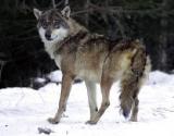 La chasse au loup :  200 spécimens en France.
