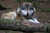 un loup  pour la première fois en Ardèche