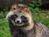 Le chien viverrin, ou tanuki : morphologie, lieu et mode de vie...
