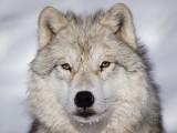 Le loup : caractéristiques et différences avec le chien