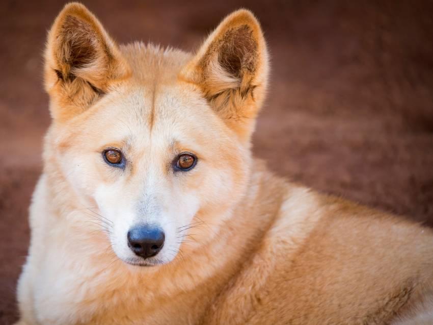 le dingo  ou chien sauvage d u0026 39 australie