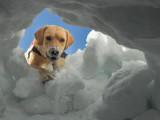 Les chiens de recherche de victimes d'avalanche