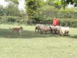 Conduite d'un troupeau de moutons par un Berger Belge Laekenois