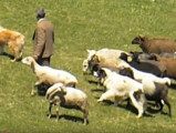 Des Karakachanskos Kuches guident un troupeau de moutons