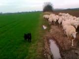 Un Chien de Berger Croate conduit un troupeau de moutons