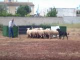 Exercice de conduite de troupeaux réalisé par un Berger de Majorque