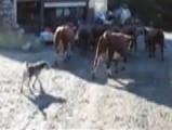 Un Berger des Alpes rentre un troupeau de vaches