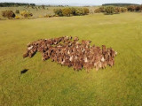 Un Berger du Portugal manoeuvre un troupeau de moutons