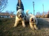 Garde de la maison par deux chiens de Berger Roumain de Mioritza