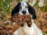 20 races de chien de chasse