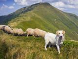 Les chiens de protection de troupeau