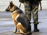 Chien soldat : l'usage des chiens de guerre