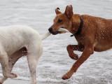 Chirurgie esthétique des chiens: la caudectomie devient illégale en Espagne