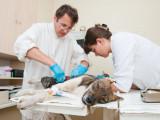 Au Canada, l'interdiction de la chirurgie esthétique du chien progresse peu à peu