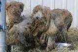 Canada - Cruauté envers les animaux : la loi pas suffisamment sévère?
