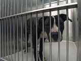 pitbulls interdits à Sherbrooke adoptés à Québec