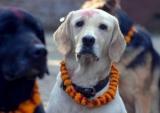 Belgique - Une RC obligatoire pour les propriétaires de tous les chiens