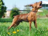 Aboiements intempestifs d'un chien bruyant : que dit la loi ?