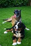 Suisse - Canton de Genève : Nouveau règlement sur les chiens