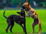 Bagarres entre chiens