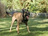Suisse - La question des chiens dangereux reste dans une impasse