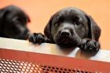 Suisse - Le Parlement met fin au commerce sauvage de chiens