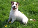 Les races de chien les plus populaires en Belgique