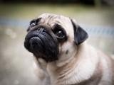 Les races de chiens au nez plat / écrasé