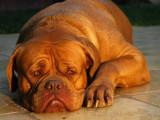 10 races de chiens françaises oubliées, voire en disparition