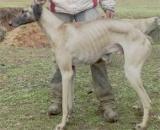 Maroc -  Chiens : Le sloughi, une race canine qui revient de loin