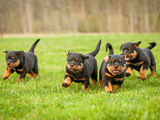 Nationale d'Elevage Rottweiler 2011