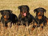 Egypte - Nationale d'élevage du Rottweiler