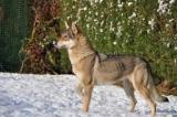 Mi-bergers mi-loups, les chiens d'Anne